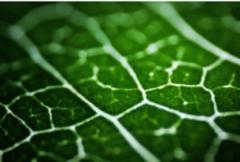 Тканинна діагностика рослин