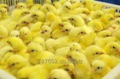 Цыплята бройлер КОББ 500