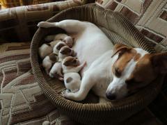 Джек-рассел-терьер щенки в наличии, рождены 27.05.2017