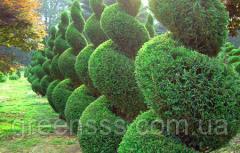Формирующая обрезка топиарных форм деревьев и кустарников