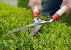 Cutting of bushes in a green hedge