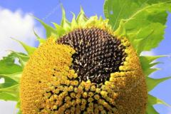 Переробка насіння соняшника