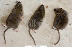 Extermination of rats