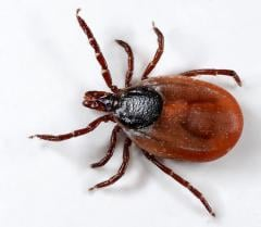 Extermination of ticks, disinsection services