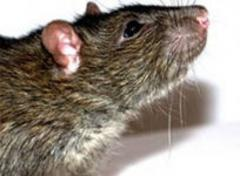 Extermination of rats,  deratization services