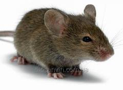 Extermination of mice,  deratization services