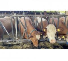 Экспорт живого скота