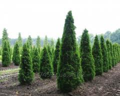 Посадка деревьев, Пересадка деревьев