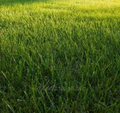 Рулонный и посевной газон