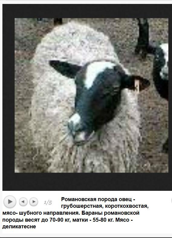 romanivska_grubovovnova_poroda_myaso_vovnovogo_napryamku_z_chorno_sriblyastoyu_sherstyu_ta_visokimi_biologichnimi_i_reproduktivnimi_yakostyami_myaso_delika