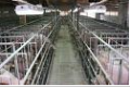 Development of projects on reconstruction of pig farms
