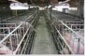 Разработка проектов по реконструкции свиноферм