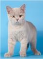 Британский котенок лиловый