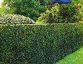Зеленые изгороди и вертикальное озеленение