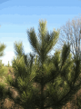 Доставка новогодних елок и сосен