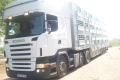 Transportation and delivery of cattle by semi-trailers by PEZZAIOLI brand cattle trucks