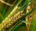 Выращивание и реализация зерновых культур