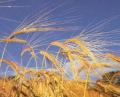 Выращивание зерновых, технических культур