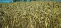 Производство зерновых культур