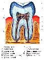 Строение и развитие зубов.