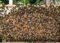 Реализуем пчелосемьи высокопродуктивных помесных линий серой лесной и кавказской пород