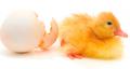 Разведение сельскохозяйственной птицы