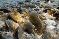 Зарыбление водоемов карпом