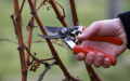 Cutting of trees, grapes, bushes in Kherson.