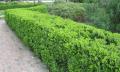 Услуга по выбору растений для живой изгороди