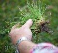 Уничтожение сорняков на газоне: ручная прополка