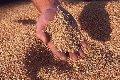 Переработка зерна гречихи на крупу