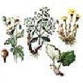 Закупка сырья лекарственных растений: Чистотела, Шалфея, Шиповника, Эхинацеи пурпурной, Aира, Алтея, Полыни, Семена льна, Укропа пахучего, Эвкалипт.