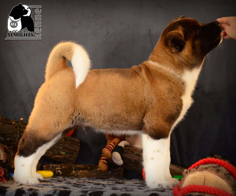 American Akita ALL FOR ALMIGHTY kennel (ПИТОМНИК)